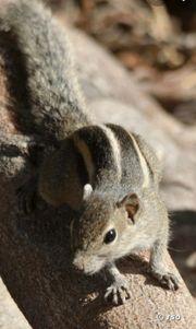 Suche Palmenhörnchen Weibchen