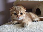 Scottish Fold Kitten - Abgabebereit - 2