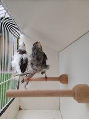 Kanarienvogel Mehringer