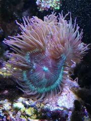 Korallen zu verkaufen