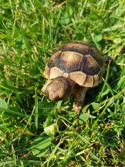 Breitrandschildkröten Landschildkröten