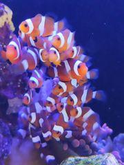 Clownfische Amphiprion ocellaris