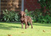 Labrador welpen braun silberträger