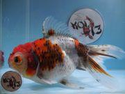 KOI 13 Anz 80 2020 Goldfisch -