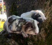 Meerschweinchen Babys vom Züchter