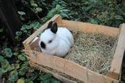 Kaninchen Rübe da 3 Jahre