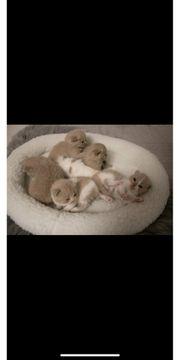 Suche Bkh weibliches Kitten