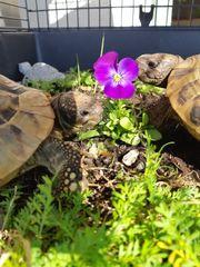 2 Griechische Landschildkröten - Testudo Hermanni