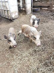 Minischwein Brüder aus sachkundiger und