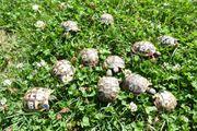 Griechische Land Schildkröten Nachzuchten von