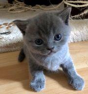 Reinrassige BKH Kitten -Britisch Kurzhaar-