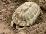 Verkaufe Griechische Landschildkröten Weibchen und