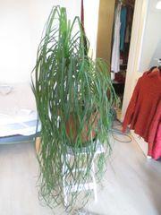 Pflanze - Elefantenbaum