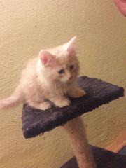 Maine-Coon-Kitten in vielen Farben
