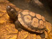 Dreikielschildkröte Weibchen 2 Jahre