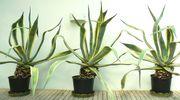 Agavengruppe sehr dekorativ 3 Stk