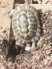 Maurische Landschildkröten Tgi Weibchen