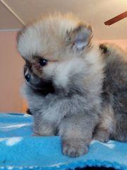 Reinrassige Pomeranian Welpen