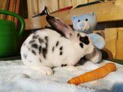 süße Rex Kaninchen abzugeben