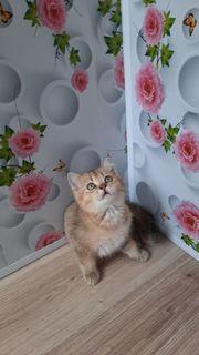 Süße britische chinchilla Katzenbabys