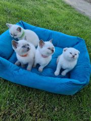 Reinrassiger Britisch Kurzhaar Kitten COLORPOINT