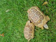 2 Glattrandschildkröten männlich RESERVIERT