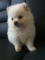 Wunderschöne Pomeranian Zwergspitz