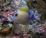 Meerwasser Doktorfisch Besatz Signatus Magnificus -