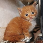 Red Solid White Maine Coon