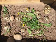 Griechische Landschildkröten abzugeben 3 und