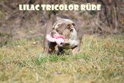 Englische Bulldogge Welpen in wunderschöne