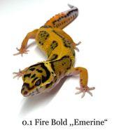 Leopardgecko Eublepharis macularius Fire Bold