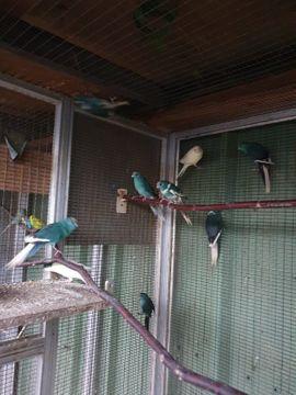 Vögel - Junge Ziegensittiche ab 35 Euro