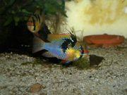 Schmetterlingsbuntbarsche Jungfische