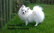 Hündin Pomeranian Deutscher Spitz aus