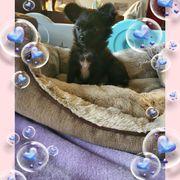 Schwarzer Traum Chihuahua langhaar Rüde