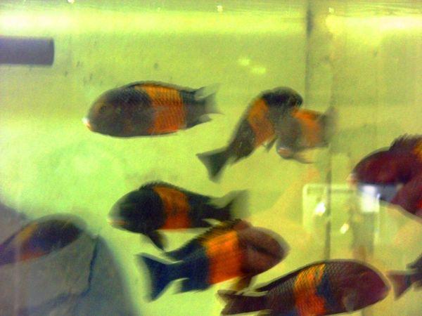 Tanganjika Gruppe Tropheus sp black