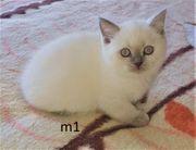 Britisch Kurzhaar Kitten Katzenbaby