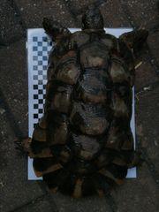 Landschildkröte Breitrand Marginata Testudo Männchen