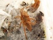 chilobrachys andersoni