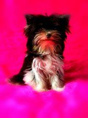 Yorkshire Terrier Mini Biro - Schoko
