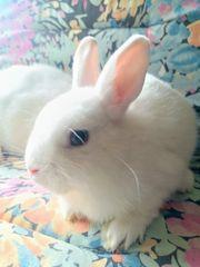 Kaninchen Zwergkaninchen 10 Wochen alt