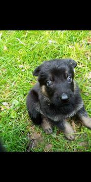 Deutsche Schäferhund Welpen suchen ein
