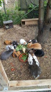 Kaninchen und Meerschweinche