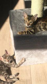 Geschwister Duo Bengalkitten zu verkaufen