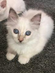 Reinrassige Heilige Birma Kitten Mini
