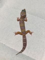 Leopardgeckos 0 3