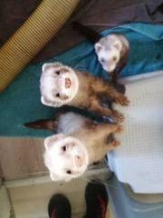 3 niedliche Frettchen