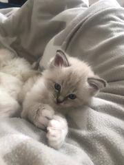 Ragdoll Kitten reinrassig