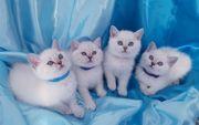 BKH Kitten - rassig mit blauen